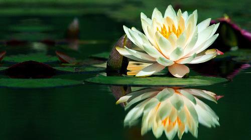 Hermosa-flor-de-loto-sobre-el-agua-